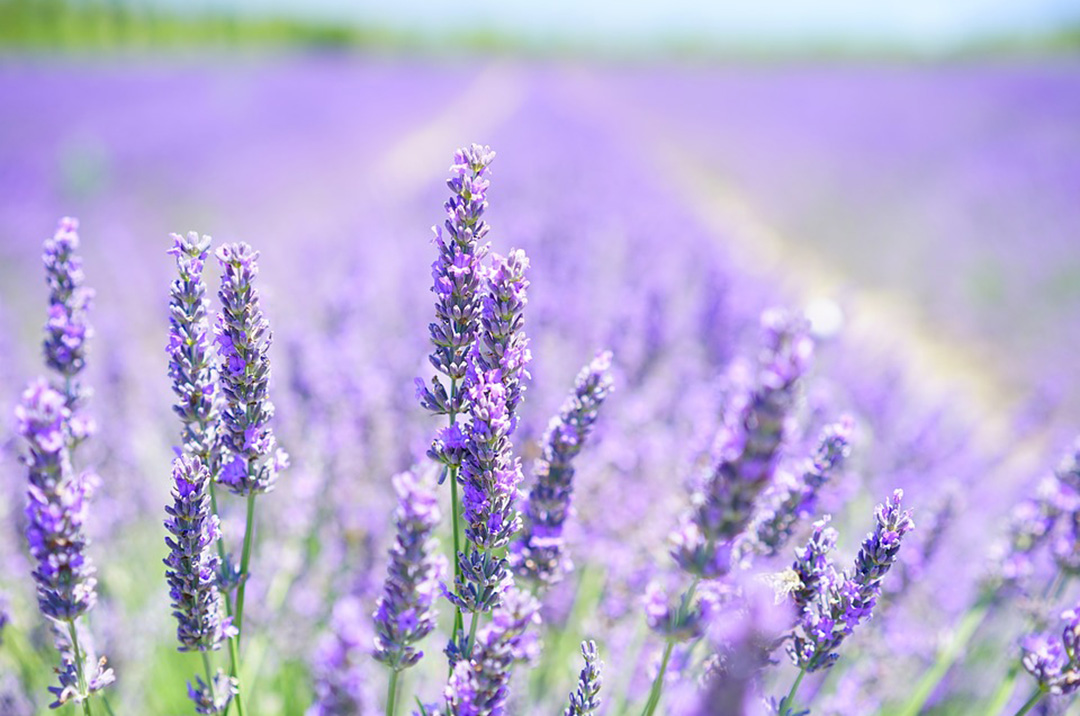 Lavender Aromatherapy For Sleep