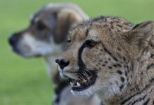 Cheetahs Are Really Just Skittish Kitties
