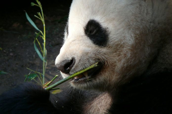 Another Reason To Be A Panda